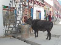 dzogchen-yak-dans-la-ville