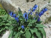 fleur-du-tibet-amdo-2