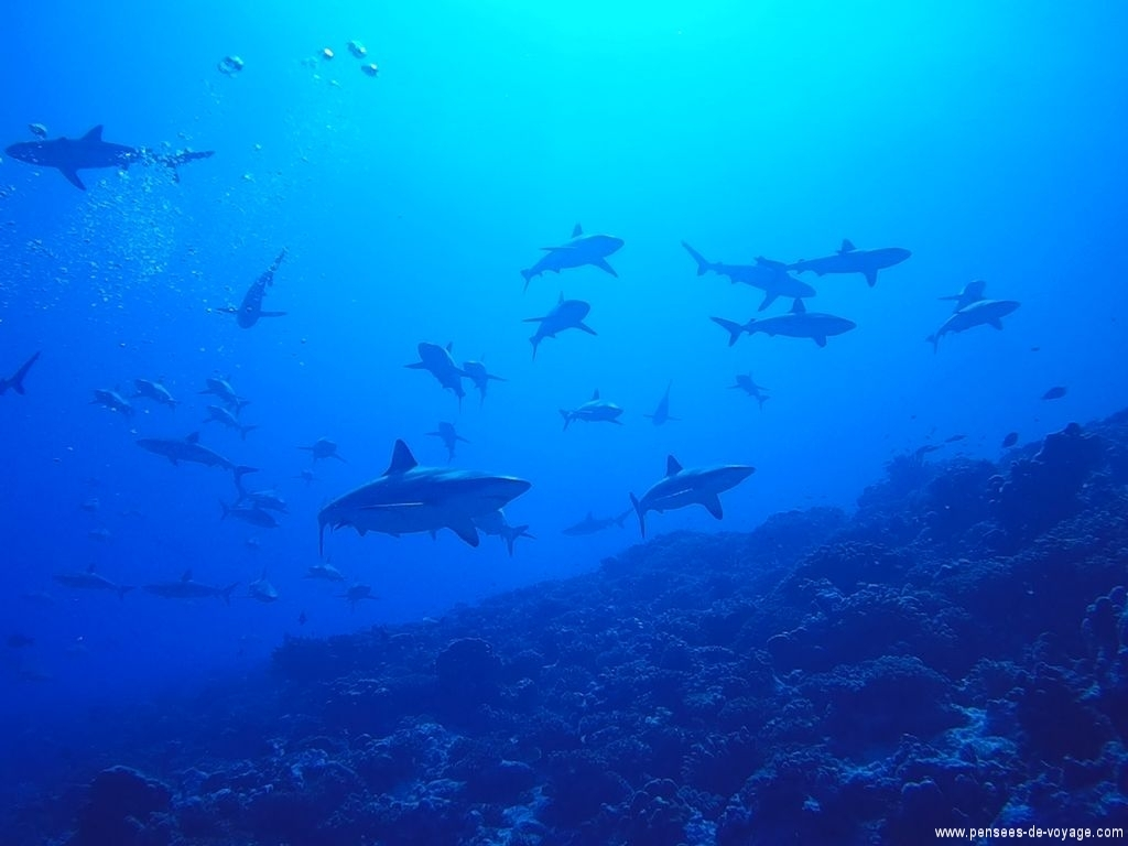 mur de requins, passe sur fakarava, Tamakohua