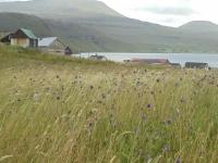 Hosvik champs de fleur