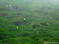 7-nid-herbe-puffin-feroe (1)