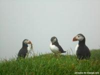 8-macareux-feroe-joli-oiseaux