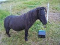 Kaldbak chevaux (1)