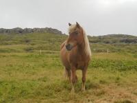 Kaldbak chevaux (2)