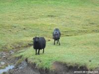 4-mouton-zombi