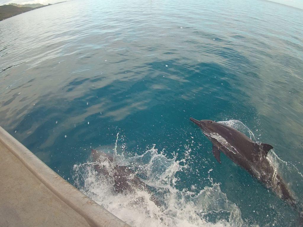 dauphins moorea plongee