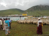 fete-chevaux-yushu-brebis