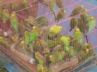 perruche-cage-fete-foraine