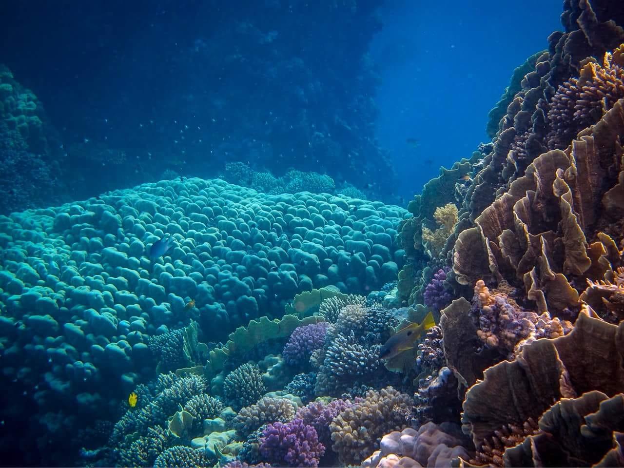 Coraux colorées mer rouge