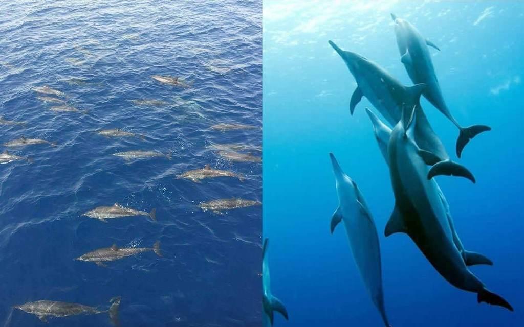 Dauphins à la surface et dans l'eau
