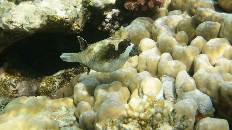 poisson globe plongée