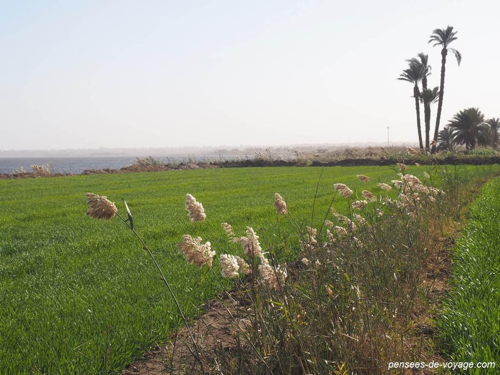 Champs au bord du lac Qaroun