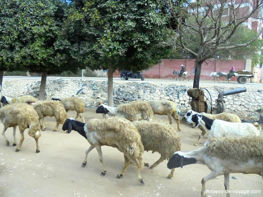 Chemin et troupeaux pour abousir