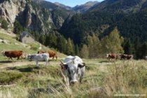 Randonnee du Pla Guillem, vache devant une cabane.