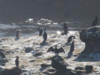colonie d'oiseaux chiloe chepu