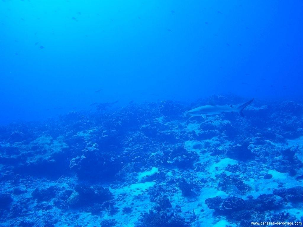 plongee fakarava requins